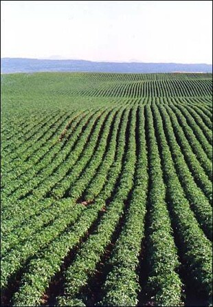 Endless potato rows, Glenns Ferry, Idaho.