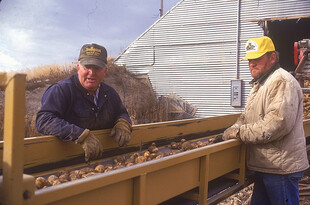 Loading potatoes