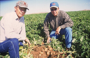 Russet potato growers