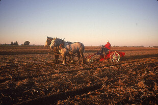 Harvesting with horses
