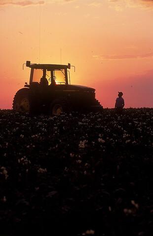 2007-2008 potato harvest at sunset